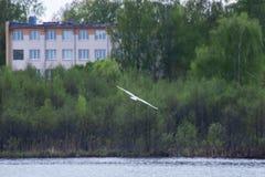 Летание чайки над рекой стоковые фото