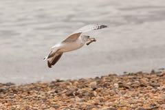Летание чайки с косточкой цыпленка стоковое изображение rf