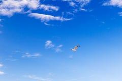 Летание чайки через небо стоковые изображения rf