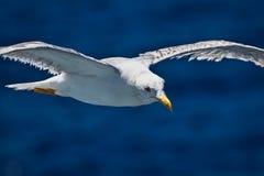 Летание чайки Стоковое фото RF