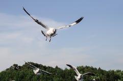 Летание чайки Стоковые Изображения RF