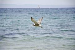 Летание чайки Стоковое Фото