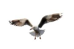 Летание чайки стоковая фотография