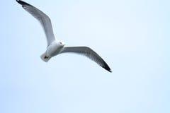 Летание чайки Стоковое Изображение