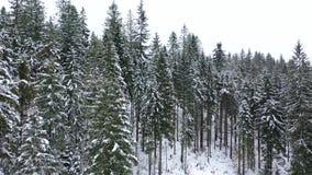 Летание через coniferous лес в горах в зиме акции видеоматериалы