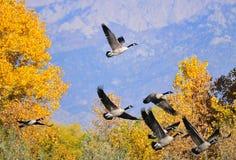 летание южное Стоковая Фотография RF