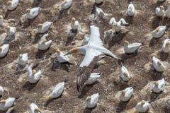 Летание Austalasian Gannet над колонией Gannet Стоковые Изображения