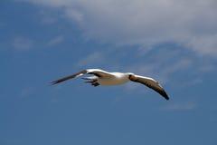 летание boobie Стоковое Фото