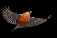 Летание Bullfinch на черной предпосылке Стоковое Изображение RF