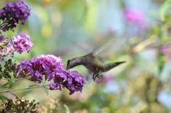 Летание Calypte Anna колибри ` s Анны пока выпивающ нектар от бабочки Буша Стоковые Фото