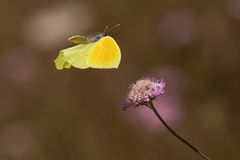 летание cleopatra бабочки Стоковые Фото
