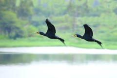 летание cormorant Стоковое Фото