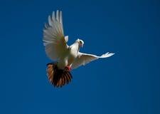 летание dove стоковые изображения rf
