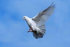 летание dove стоковая фотография