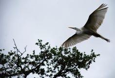 летание egret птицы Стоковые Фото