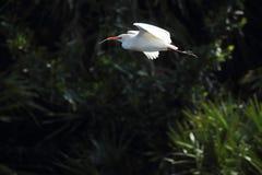 Летание egret скотин с ручкой для материала гнездиться, Флориды Стоковая Фотография RF