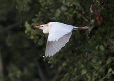 Летание Egret скотин Стоковое фото RF