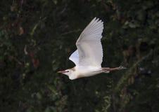 Летание Egret скотин Стоковые Изображения RF