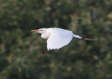 Летание Egret скотин Стоковые Фото