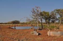Летание Galahs из дерева в австралийском водопое захолустья Стоковое Изображение