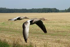 Летание Gooses Стоковая Фотография