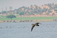 Летание poecilorhyncha Anas утки Spotbilled над озером стоковая фотография rf