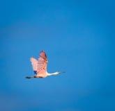 Летание Roseate колпицы Стоковая Фотография RF