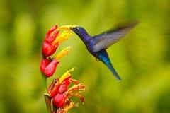 Летание Sabrewing большого голубого колибри фиолетовое рядом с красивым красным цветком с ясной зеленой природой леса в предпосыл стоковые изображения rf