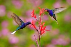 Летание Sabrewing большого голубого колибри фиолетовое рядом с красивым красным цветком с ясной зеленой природой леса в предпосыл стоковые изображения