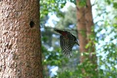 Летание Woodpecker стоковое фото rf