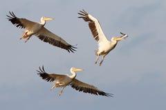 Летать 3 большой пеликанов Стоковые Изображения