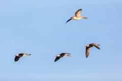 Летать гусынь Greylag Стоковые Изображения