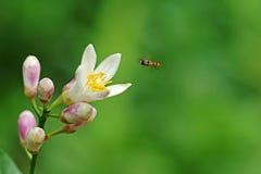Летать завишет муха Стоковые Изображения RF