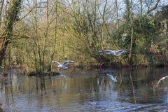 Летать и утки птиц плавая на озере Стоковые Фотографии RF