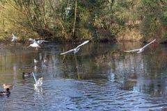 Летать и утки птиц плавая на озере Стоковое Изображение RF