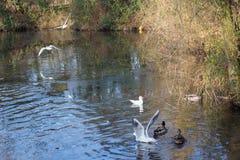 Летать и утки птиц плавая на озере Стоковые Изображения RF