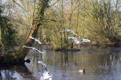 Летать и утки птиц плавая на озере Стоковое Фото