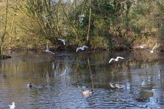 Летать и утки птиц плавая на озере Стоковая Фотография