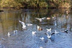 Летать и утки птиц плавая на озере Стоковое фото RF
