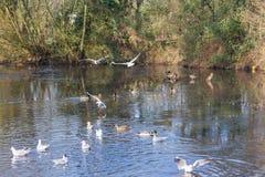 Летать и утки птиц плавая на озере Стоковая Фотография RF