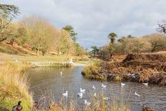 Летать и утки птиц плавая на озере Стоковые Фото