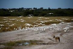 Летать маленьких Egrets Стоковая Фотография RF
