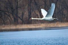 летать над белизной воды лебедя Стоковая Фотография