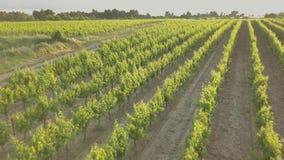 Летать над виноградником во время захода солнца видеоматериал