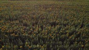 Летать над зацветая полем 4K солнцецвета Видео трутня через желтое поле солнцецветов Ландшафт лета поля акции видеоматериалы