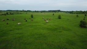 Летать над зеленым полем с пасти коров Воздушная предпосылка ландшафта страны сток-видео