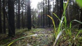 Летать над мхом через траву в глубоком лесе сосн-спруса в солнечных лучах видеоматериал