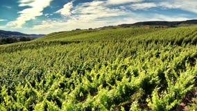 Летать над виноградником на солнечном летнем дне акции видеоматериалы