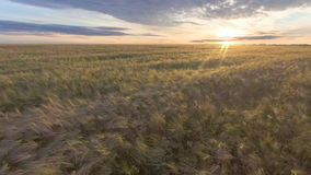 Летать над золотым пшеничным полем на красивом заходе солнца лета Желтая пшеница пошатывая в легком бризе акции видеоматериалы