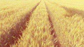 Летать над пшеничным полем с солнечным светом вид с воздуха акции видеоматериалы
